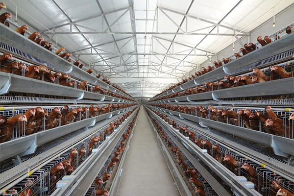 A Type Layer Chicken Cage