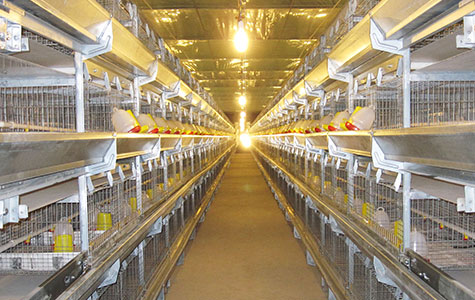 Pullet Chicken Cage