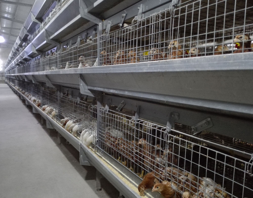 Pullet-raising-equipment